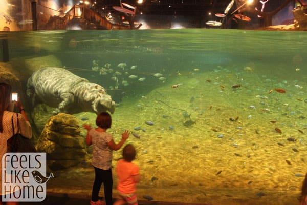 Adventure Aquarium review - hippo swimming