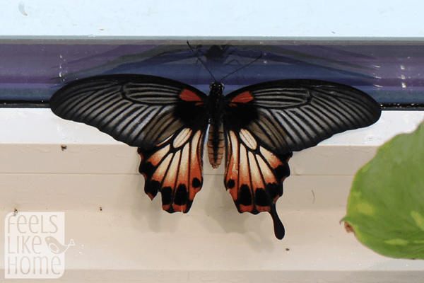 hershey-conservatory-butterfly-house-red-butterfly