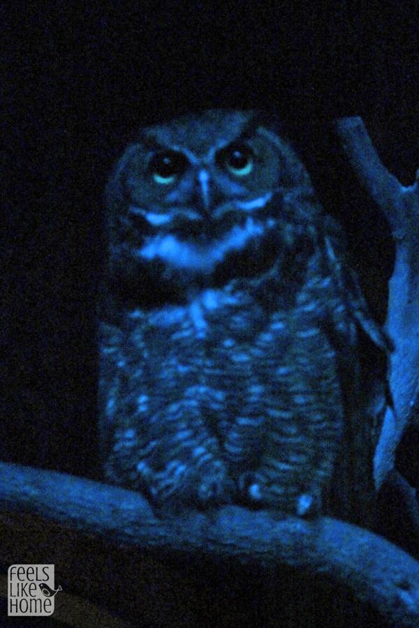 great-horned-owl-zooamerica