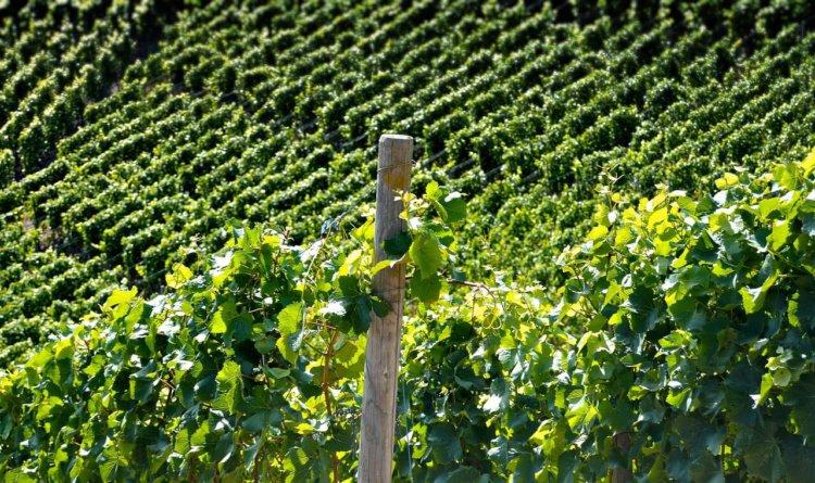 """Symbolbild: """"Weinberg"""": Ein Berg mit Weinblättern"""