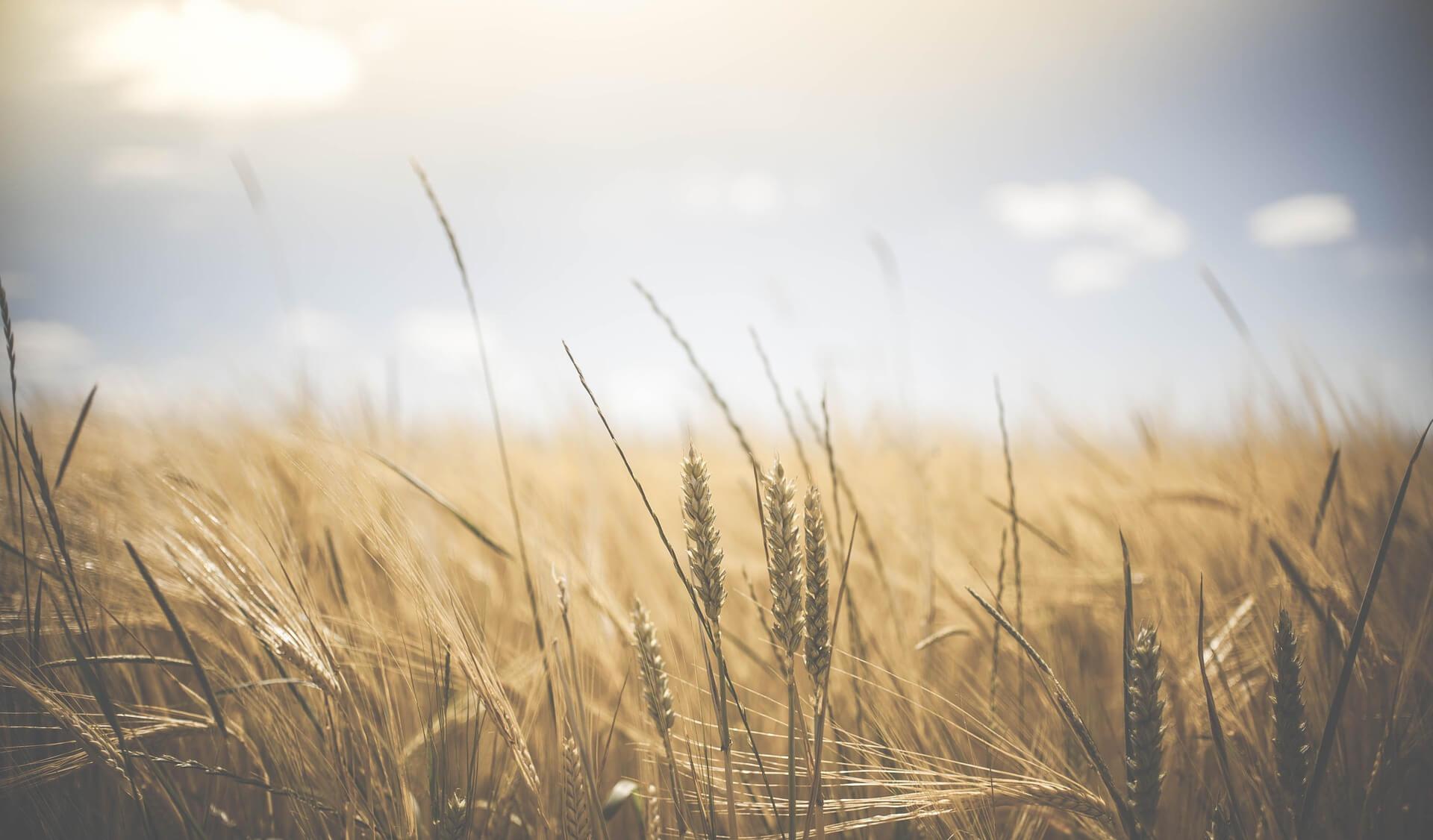 """Symbolbild """"Die Liebe des Herrn"""": Sonne über einem Weizenfeld"""