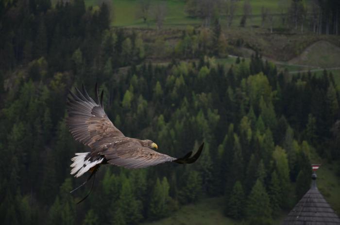 Ein Adler in der Luft