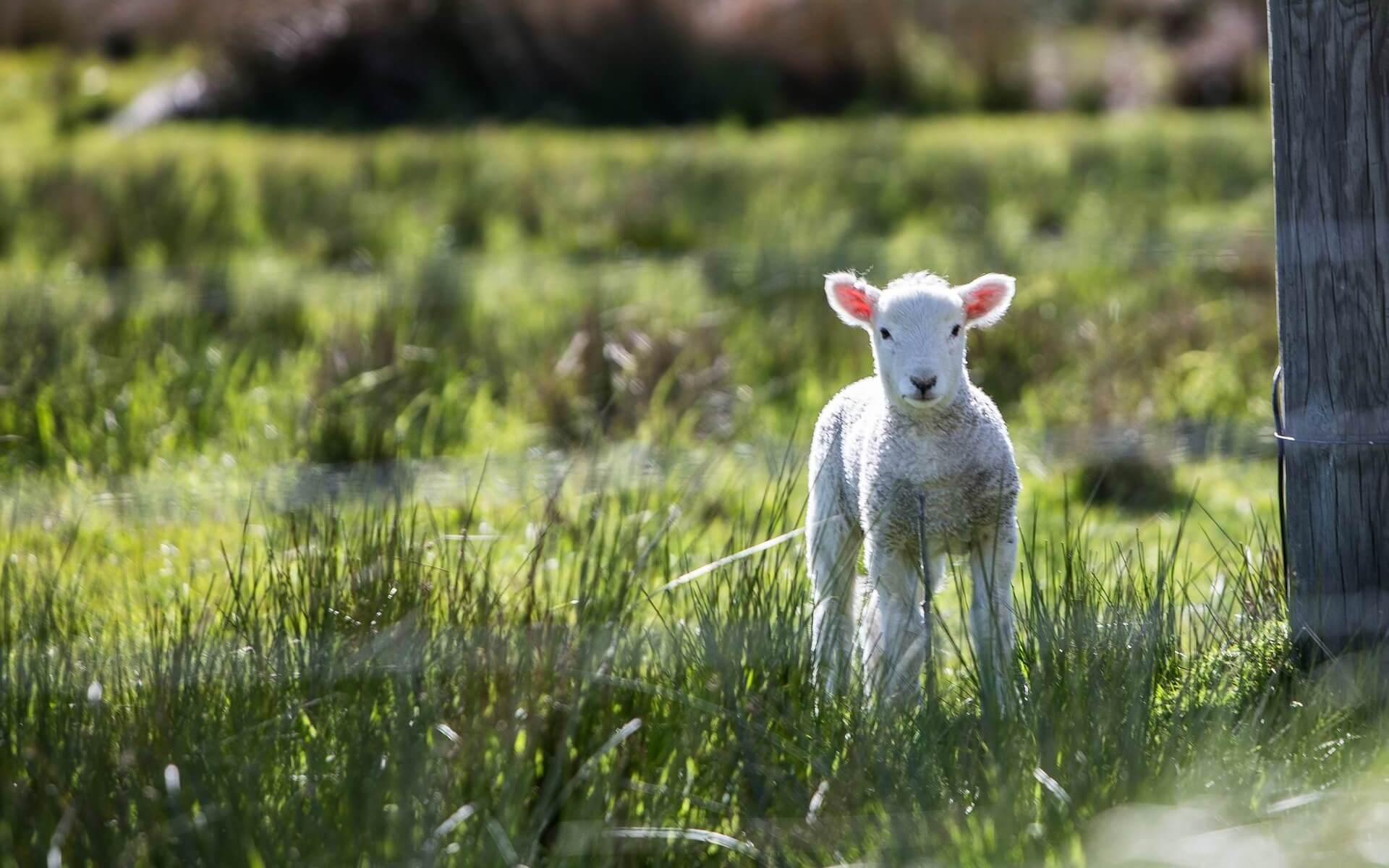 Kennst Du das Lamm?