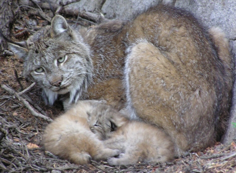 Lynx Make A Comeback In Colorado (2/3)