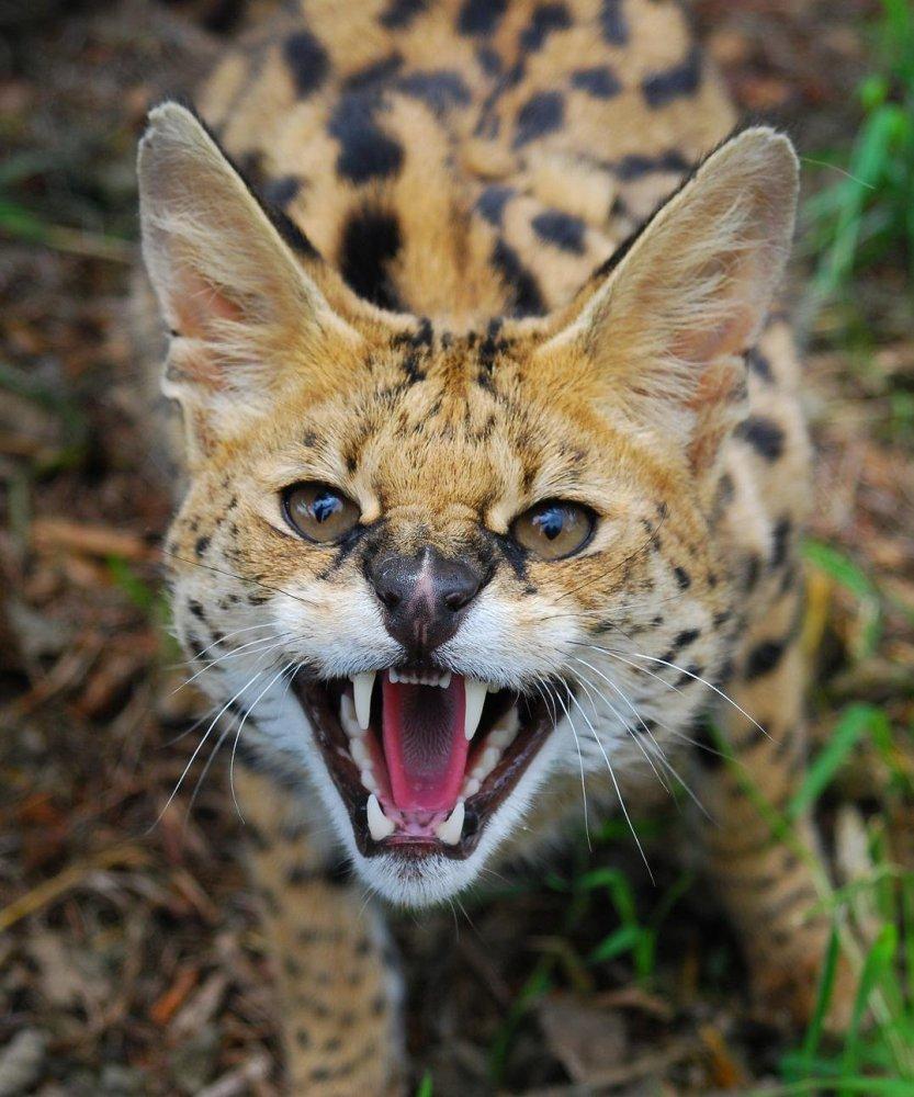 Member Photos: Serval (1/2)