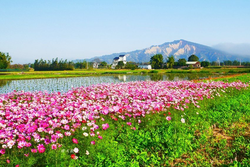台中景點 后里安眉路邊美景~波斯菊映襯下的火炎山 彷彿迷你版日本富士山