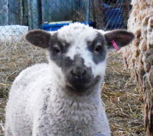 lamb with face markings
