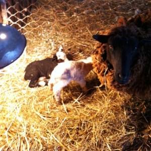 twin lambs 2015