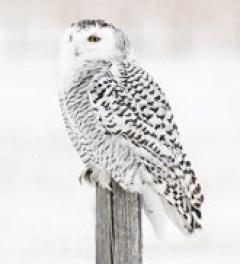 7.1 snowy owl refernce photos
