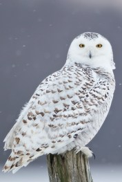 7.2 snowy owl refernce photos