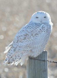 7 snowy owl refernce photos