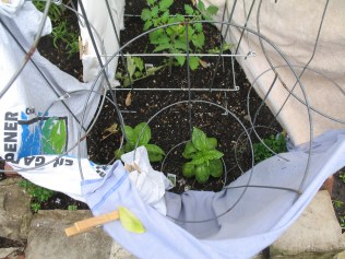 Old T-shirts to protect seedlings