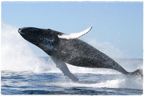 Blue Whale Ikan Paus Terbesar Di Dunia Panda Mz