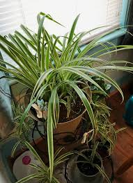 Spider Plant- A Unique Plant Adding Charm in House