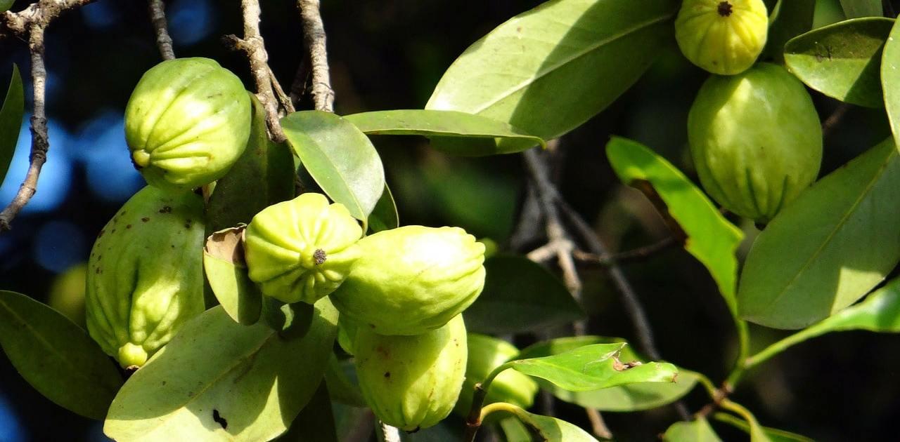 Die Wirkung von Garcinia Cambogia soll bestens dazu geeignet sein eine Diät zu halten – in der Apotheke ist es deshalb auch erhältlich