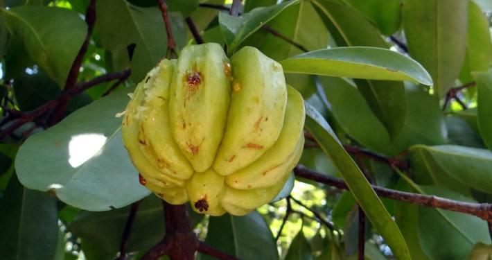 Der Garcinia Cambogia Extrakt soll angeblich beim Abnehmen helfen – mehr dazu im Test!