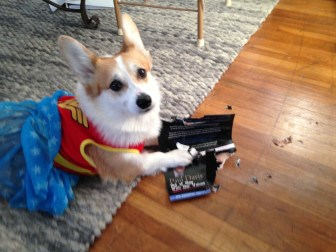 Feminist Corgi destroys the patriarchy and anti-choice political flyers.