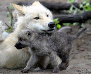Maman loup et son louveteau