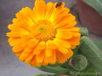 Double shaded orange-yellow gerbera