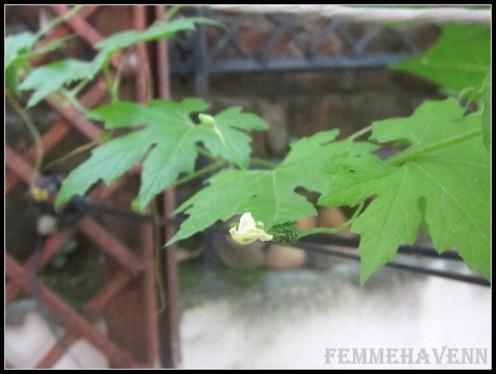 Bitter-gourd Flower