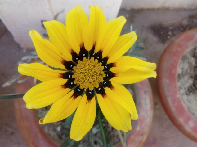 Yellow flower of Asteracea family