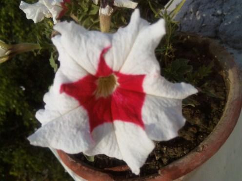 White Red Trumpet flower