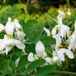 Moringa_Oleifera_Flowers