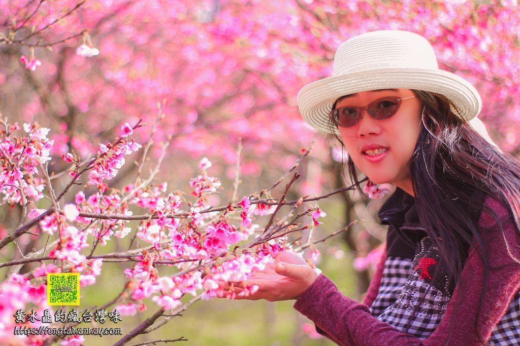 平菁街櫻花巷【台北景點】|陽明山首波櫻花季已滿開,超人氣網美IG打卡熱點附公車資訊 @黃水晶的瘋台灣味