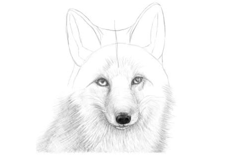 Как нарисовать лису на графическом планшете? Шаг 15. Портреты карандашом - Fenlin.ru