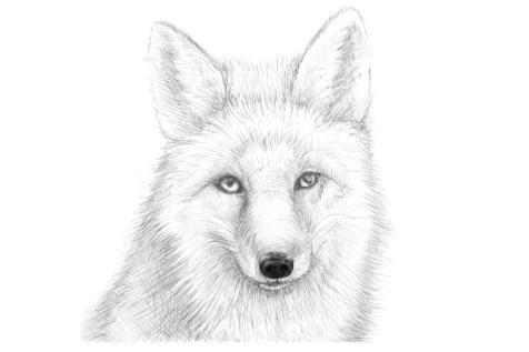 Как нарисовать лису на графическом планшете? Шаг 17. Портреты карандашом - Fenlin.ru