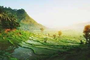 rice fields at sunrise in ubud, bali