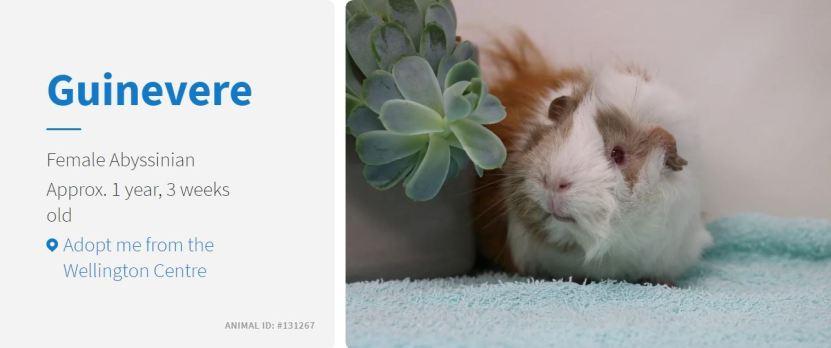guinevere the guinea pig spca