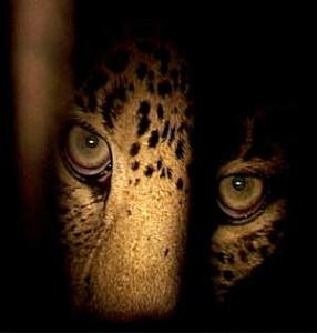 leopard-eyes