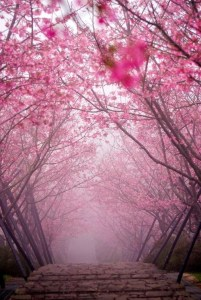55318-Cherry-Blossom-Bridge-Kyoto-Japan