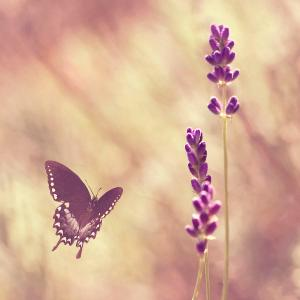 butterfly-flying-towards-lavender-jody-trappe-photography