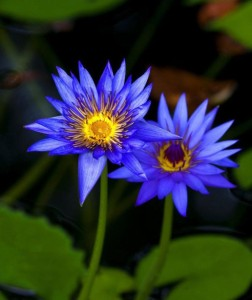 Gorgeous-Lotus-Aquatic-Plants-HOT
