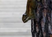 Ecureuil à Potatso