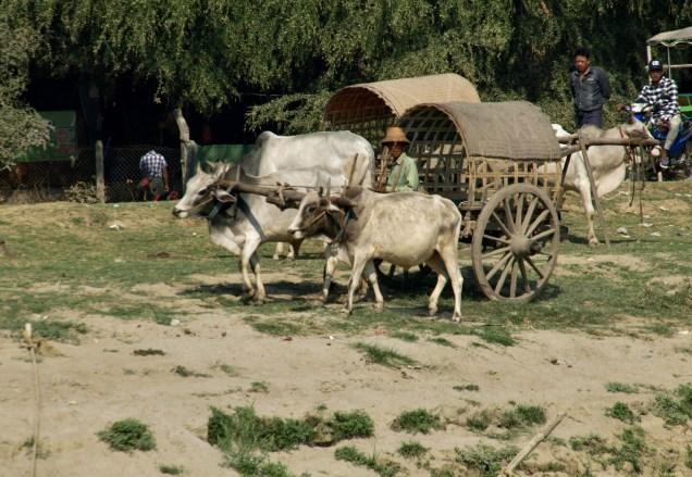 Taxi zébu à Mingun