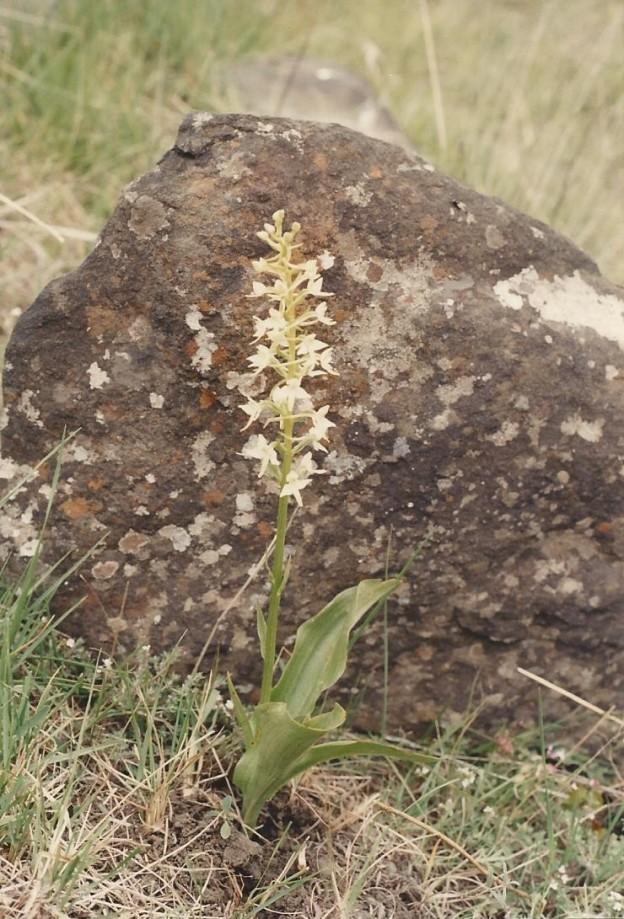 Platanthéra bifolia