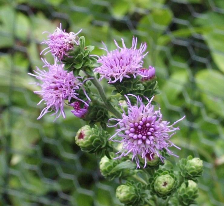 Liatris scariosa var. novae -angliae flowers (Jean Williams - 2016)