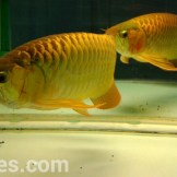 wpid-arwana-super-red-by-cbs-arowana-03.jpg.jpeg