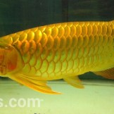 wpid-arwana-super-red-by-cbs-arowana-08.jpg.jpeg