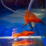 wpid-platy-sailfin-swordtail-02.jpg.jpeg
