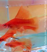 wpid-platy-sailfin-swordtail-08.jpg.jpeg