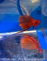 wpid-platy-sailfin-swordtail-11.jpg.jpeg