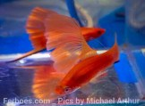 wpid-platy-sailfin-swordtail04.jpg.jpeg