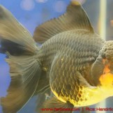Goldfish grand champion Aquarama-12.jpg