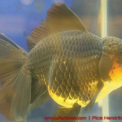 Goldfish grand champion Aquarama-07.jpg