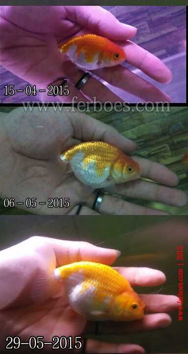 Ranchu goldfish.jpg