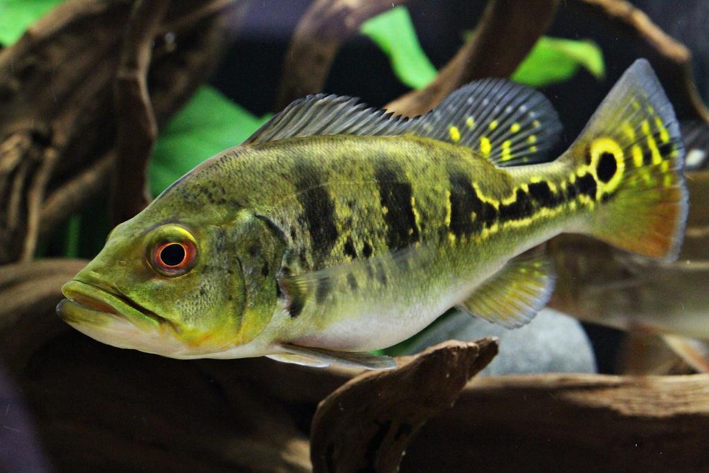 Peacock bass Gede mulutnya banyak makannya